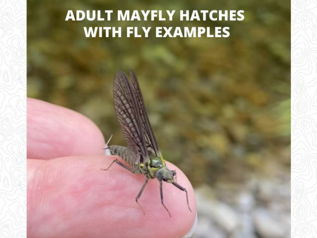 Adult Mayfly Hatches with Fly Examples - Featured Image 1200 x 628